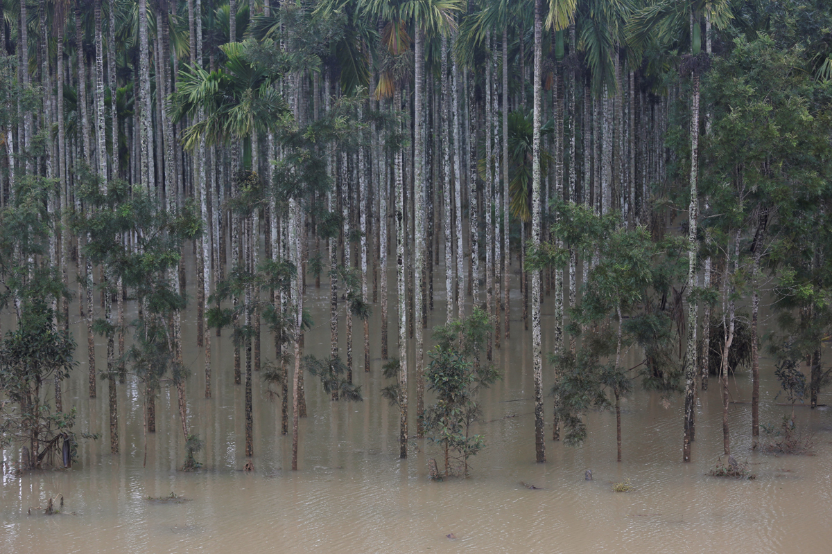 Areca nut palms submerged in floodwaters of Cauvery river. Photo by Abhishek N. Chinnappa.