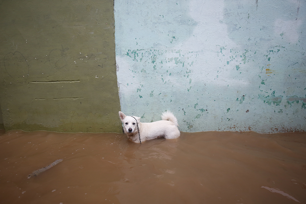 A dog stands in the floodwaters of the Lakshmana Tirtha river in Hunsur, adjacent to Kodagu. Photo by Abhishek N. Chinnappa.