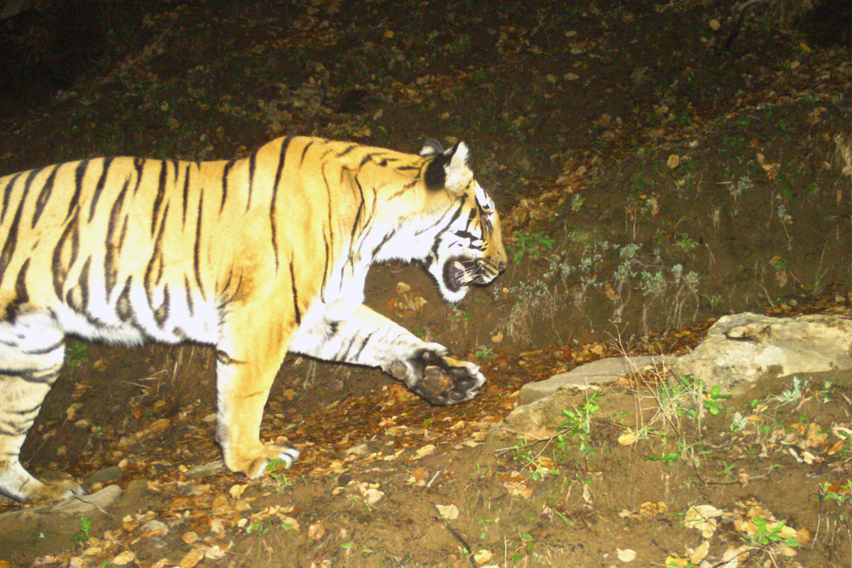 Among India, Bhutan and Nepal, GTF's study found the presence of tiger at an altitude of over 4,000 metres. Camera trap image by Global Tiger Forum/World Wildlife Fund/Uttarakhand Forest Department.