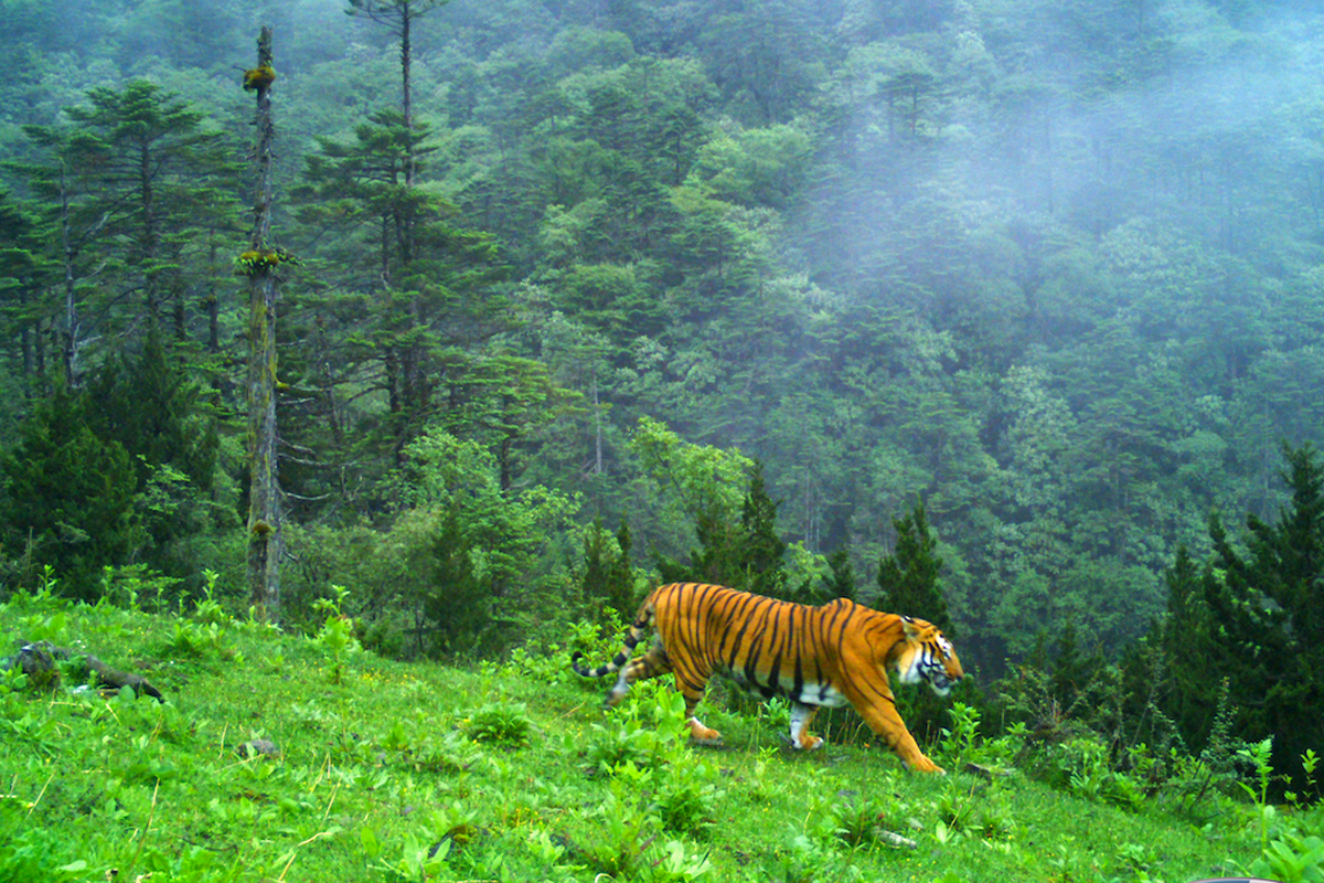 South Asia, mainly India, is home to the majority of the global wild tiger population. Camera trap image by Global Tiger Forum/World Wildlife Fund, Sikkim Forest Department.