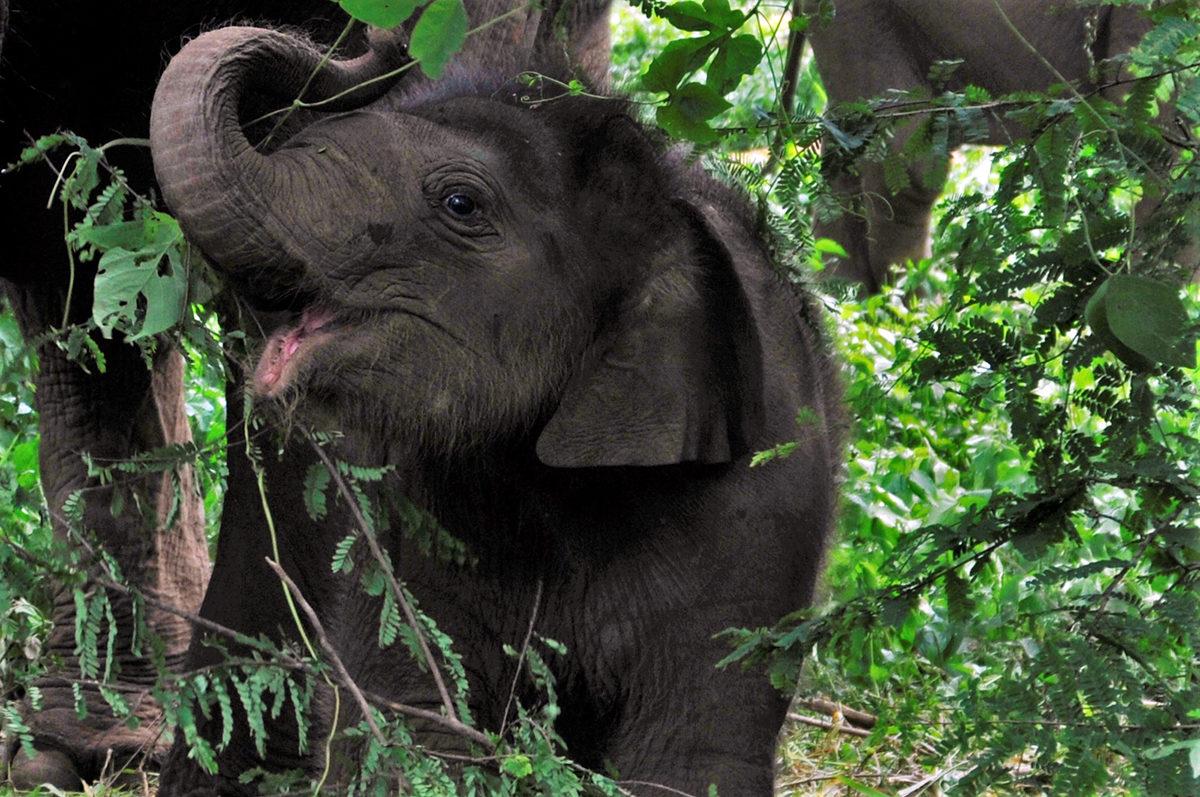 An elephant calf inside an estate in Somwarpet, Kodagu. Photo by Abhishek N. Chinnappa.