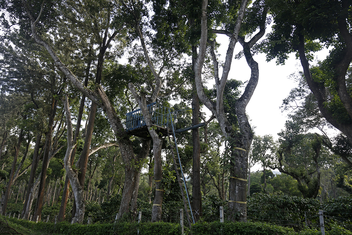A watchtower to keep track of elephant movements inside a coffee estate in Kodagu. Photo by Abhishek N. Chinnappa.