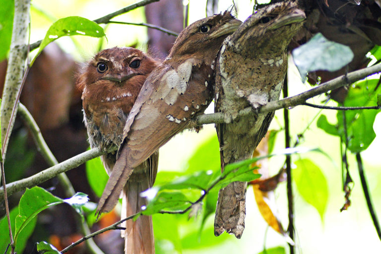 Ceylon frogmouth in Thattekkad, Kerala. Playback calls to attract birds could affect breeding habits and social behaviour of birds. Photo by N A Nazeer/Wikimedia Commons.