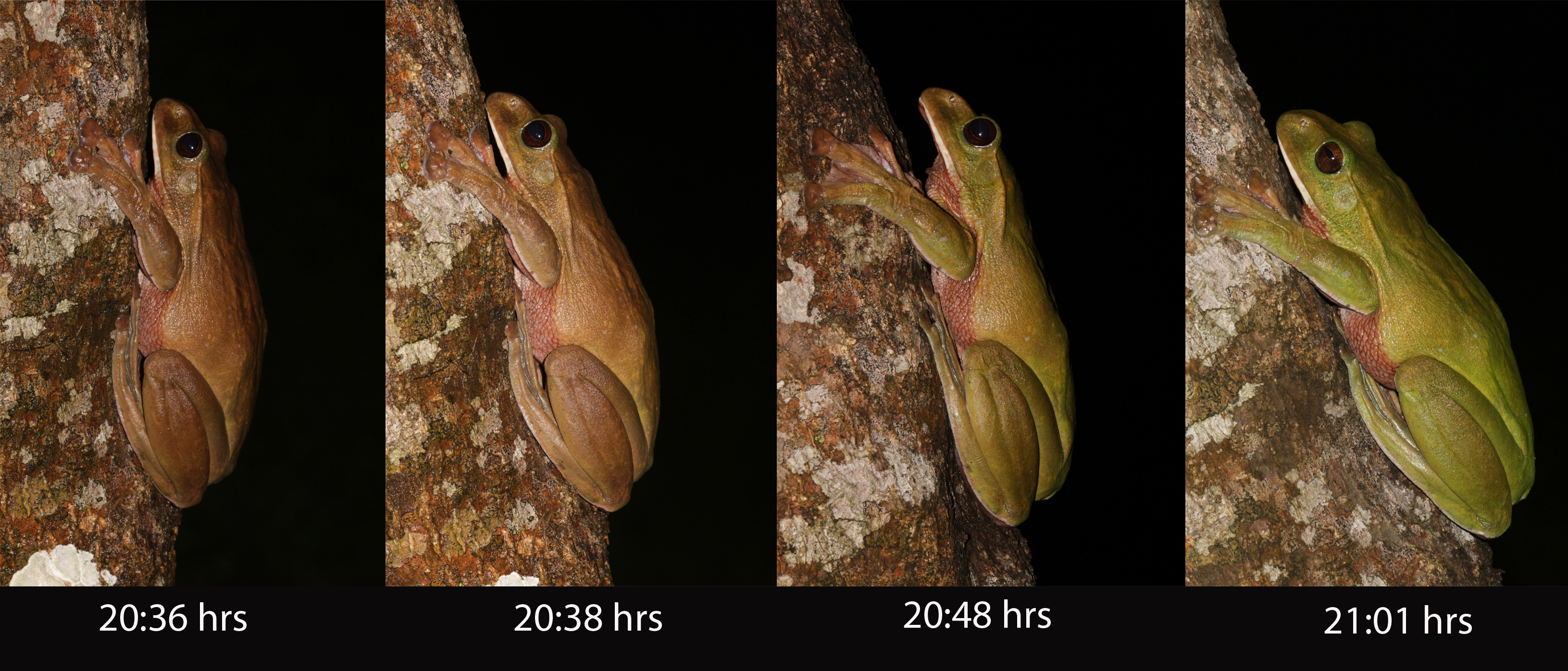 Researchers captured the sequence of color change from brown to green in Rhacophorus smaragdinus (now Zhangixalus smaragdinus). It took 25 minutes from the first photo in the left to the last one. This change was relatively slow compared to the initial colour change from green to brown upon handling. Photo courtesy C.K. et al. (2019).