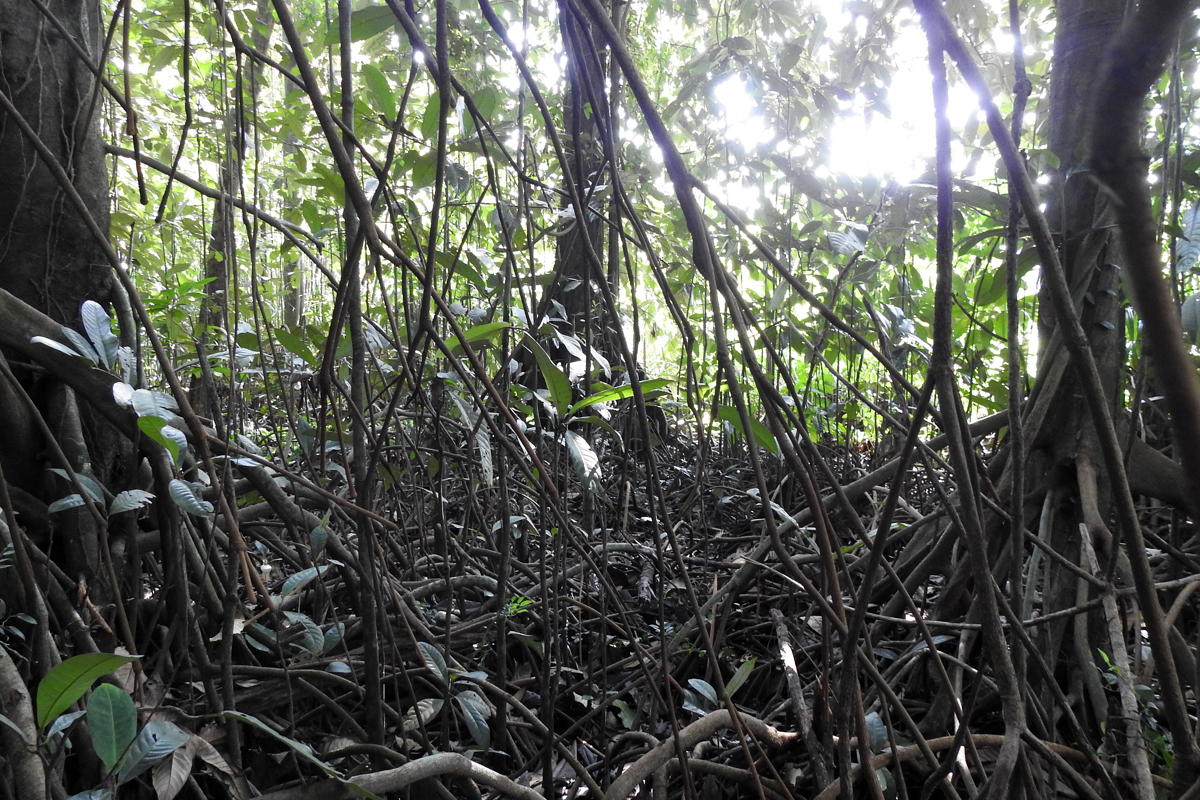 A maze of aboveground roots emerging from the Myristica swamp trees in the newly-discovered swamps of Maharashtra. Photo by Malhar Indulkar.