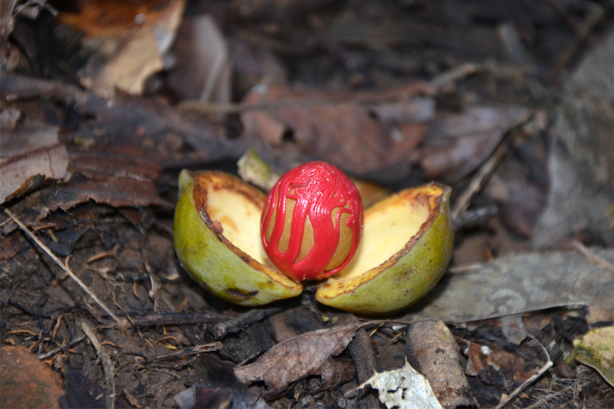 The fruit of Gymnocranthera canarica bearing the seed covered with a bright red aril, which is used locally as wild nutmeg. Photo by Jagadish M.R.