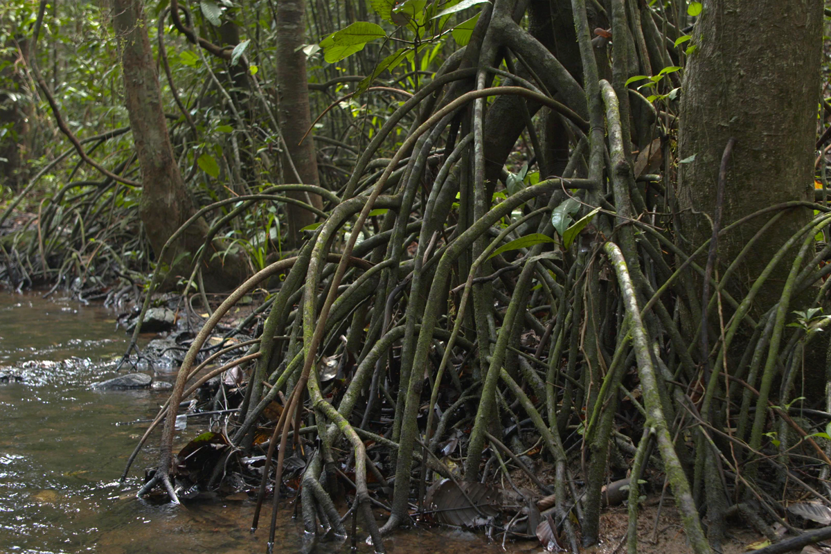 Stilt roots provide mechanical support to trees growing in the soft, moist soil of the Myristica swamps. Photo by Pradeep Hegde.