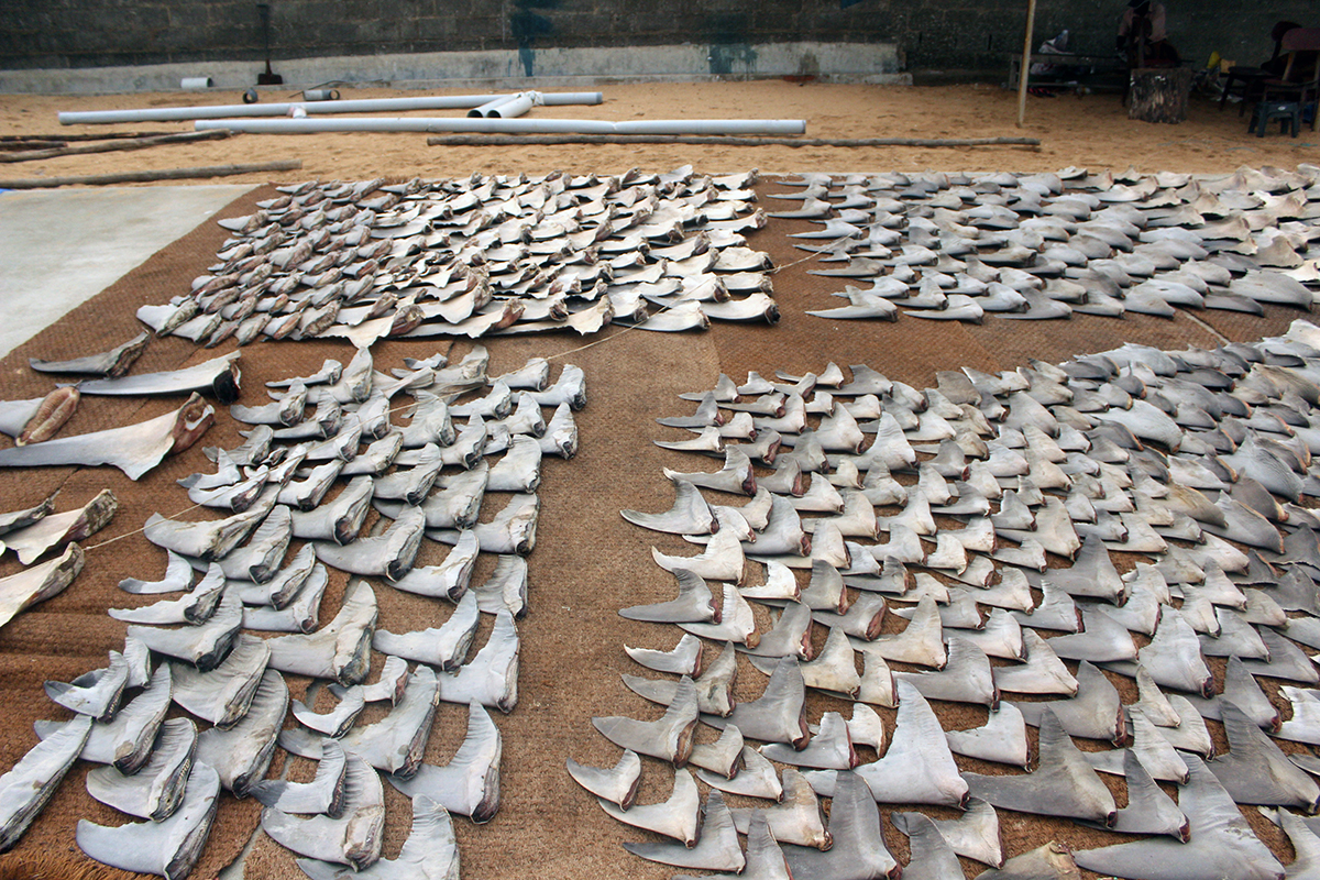 Shark fins are a lucrative by-product of shark fisheries, because of high demand in China and Southeast Asia. Fin exports have been banned in India since 2015. Fishermen claim that they now just store the fins hoping that the ban will be lifted eventually. Photo by Bhanu Sridharan.