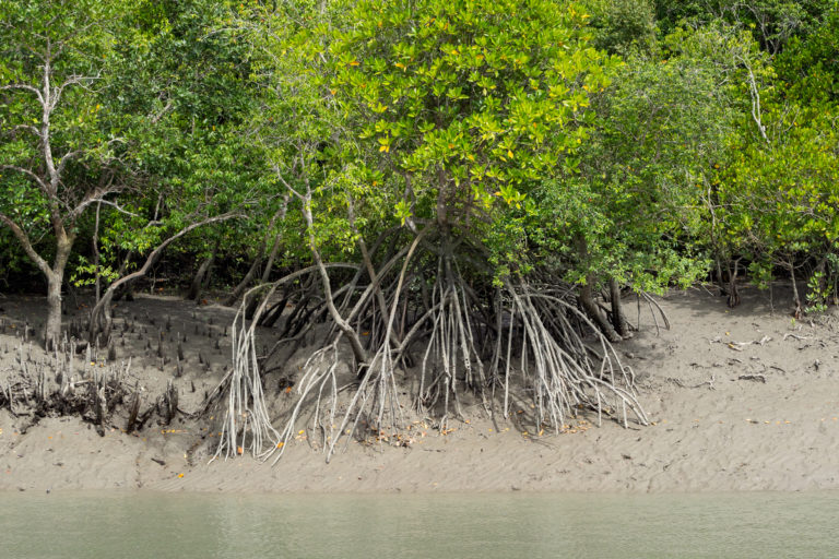 Mangrove act as natural buffers against disasters such as coastal floods and cyclones. Photo by Kartik Chandramouli/Mongabay.