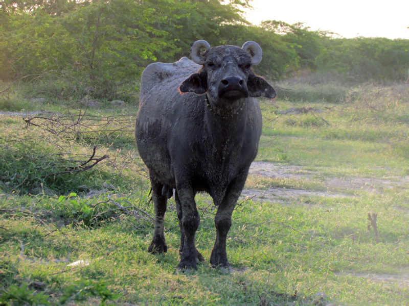 The hardy Banni buffalo is a native breed found primarily in the Kachchh district of Gujarat. Photo by Ovee Thorat.