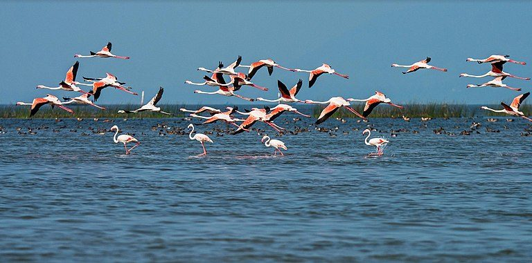 Migratory birds in the Chilika lake. Photo by Government of Odisha /Wikimedia Commons.
