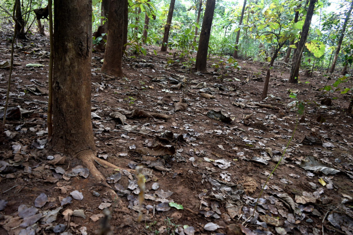 Teak roots spread horizontally in the topsoil layer and the tree consumes most of the soil nutrients and moisture. It has led to a decline in the natural sal forests and other associated plants. Photo by Basudev Mahapatra.