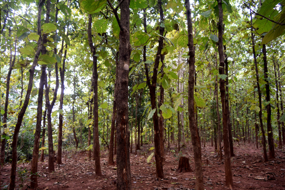 Agricultural and natural forest land replaced by teak plantation in Kandhamal district has threatened the livelihood of the tribal communities and affected biodiversity. Photo by Basudev Mahapatra.