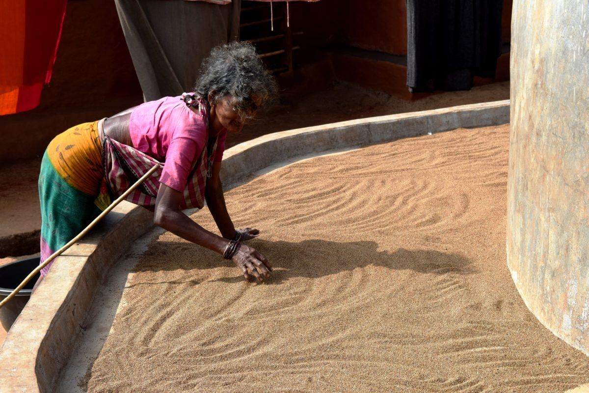 Bata Majhi of Dupi village, Odisha dries an indigenous millet variety harvested from her field for de-husking. Photo by Basudev Mahapatra.