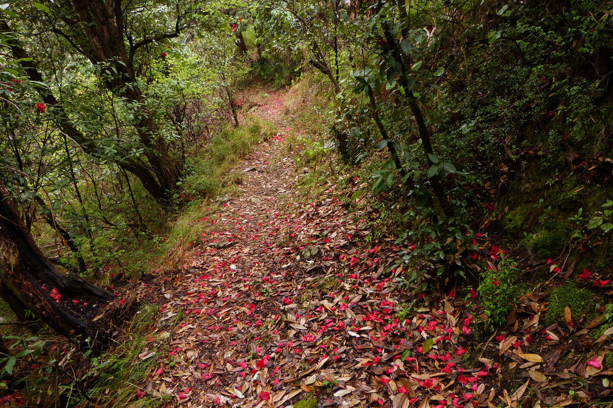 A trail in the Jabarkhet Nature Reserve with rhododendron flowers on the forest floor. Photo from Jabarkhet Nature Reserve.