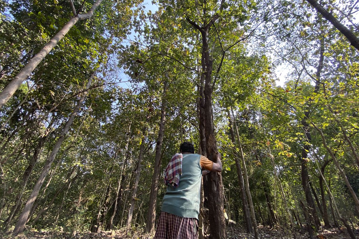 Lalubhai Wadhwi, a local healer, holds a ragat rohida (Tecomella undulata) tree that has declined in numbers. Photo by Kartik Chandramouli.