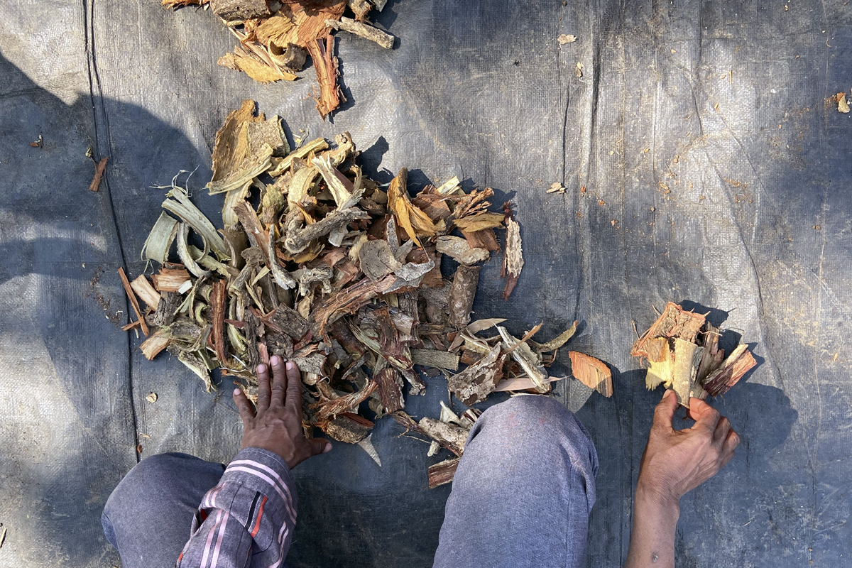 Barks and roots of medicinal trees and plants collected by a bhagat (local healer).