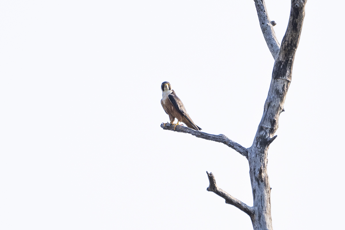 A Shaheen falcon in Purna Wildlife Sanctuary. The three-day Dang Bird Festival recorded 113 species of birds belonging to 45 families. Photo by Kartik Chandramouli/Mongabay.