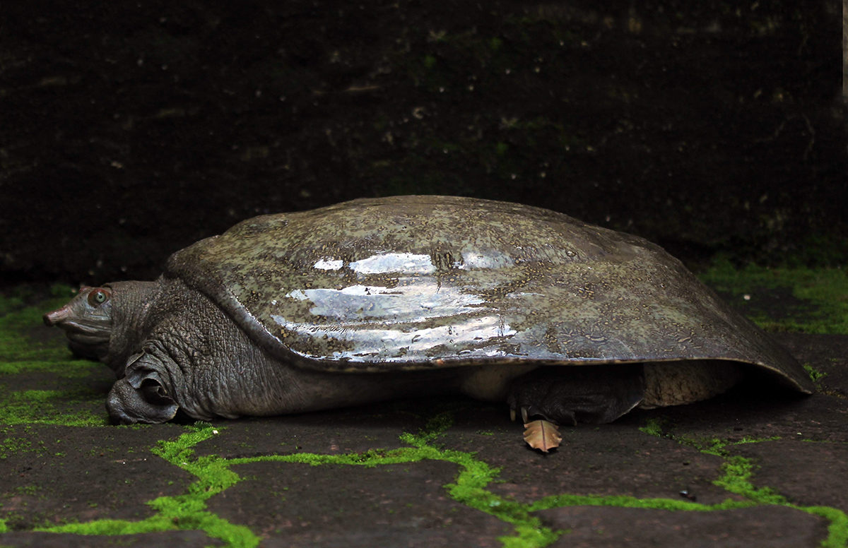 An adult Leith's softshell turtle endemic to peninsular India. Photo by Rahul Kulkarni.