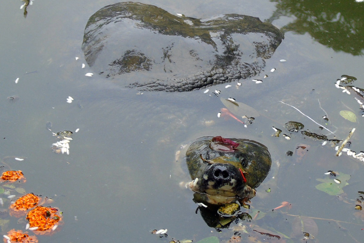 A rare black softshell turtle in a temple pond in Guwahati. Photo by Anuja Mital.