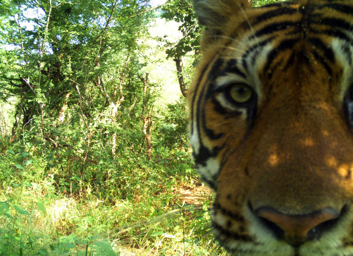 A tiger caught in a camera trap set by the Village Wildlife Volunteers programme. Photo from Tiger Watch.