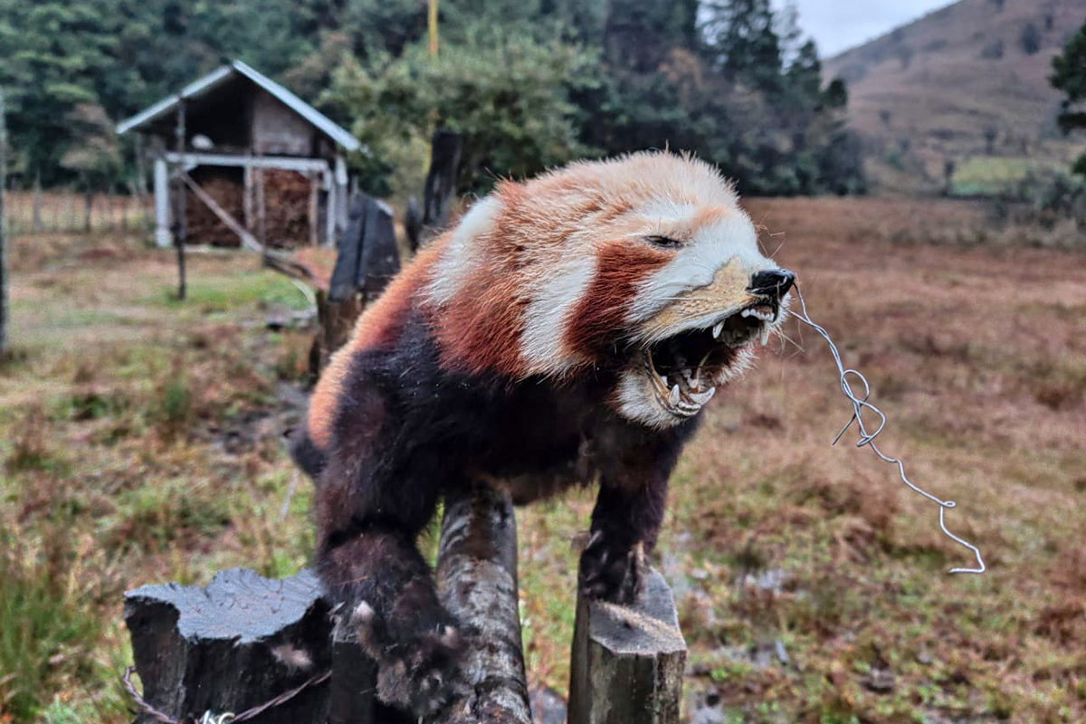 Indian scientists are building a reference DNA database for red panda populations to help officials trace seized red panda products to the region of origin and combat illegal wildlife trade. Photo from DST INSPIRE RED PANDA Project, Zoological Survey of India.