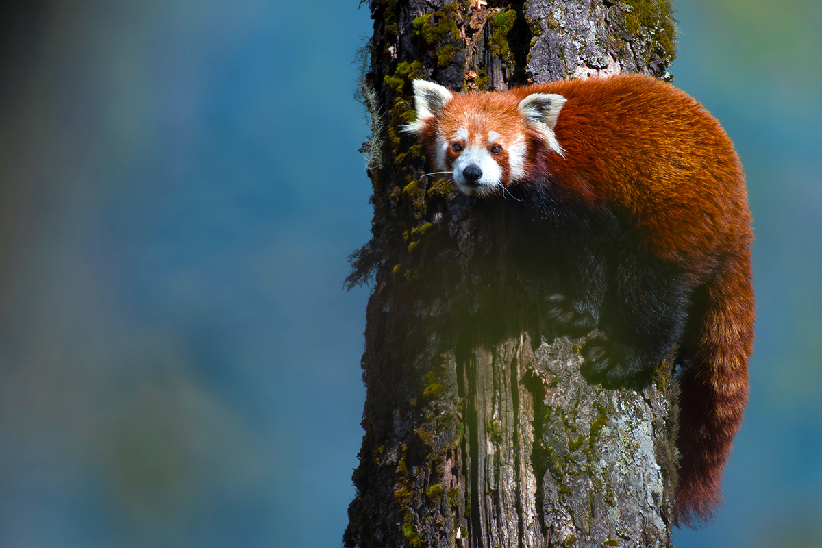 The red panda is an endangered tree-dwelling mammal found in parts of Sikkim, Arunachal Pradesh and Darjeeling district in West Bengal. It is threatened by habitat destruction, hunting and illeggal pet trade. Photo from DST INSPIRE RED PANDA Project, ZSI.