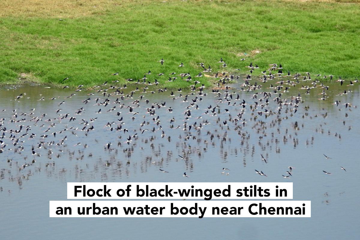 lockdown backyard birdwatching Chennai