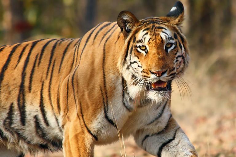 Representational image of a tiger. Photo by Vijaymp/Wikimedia Commons.