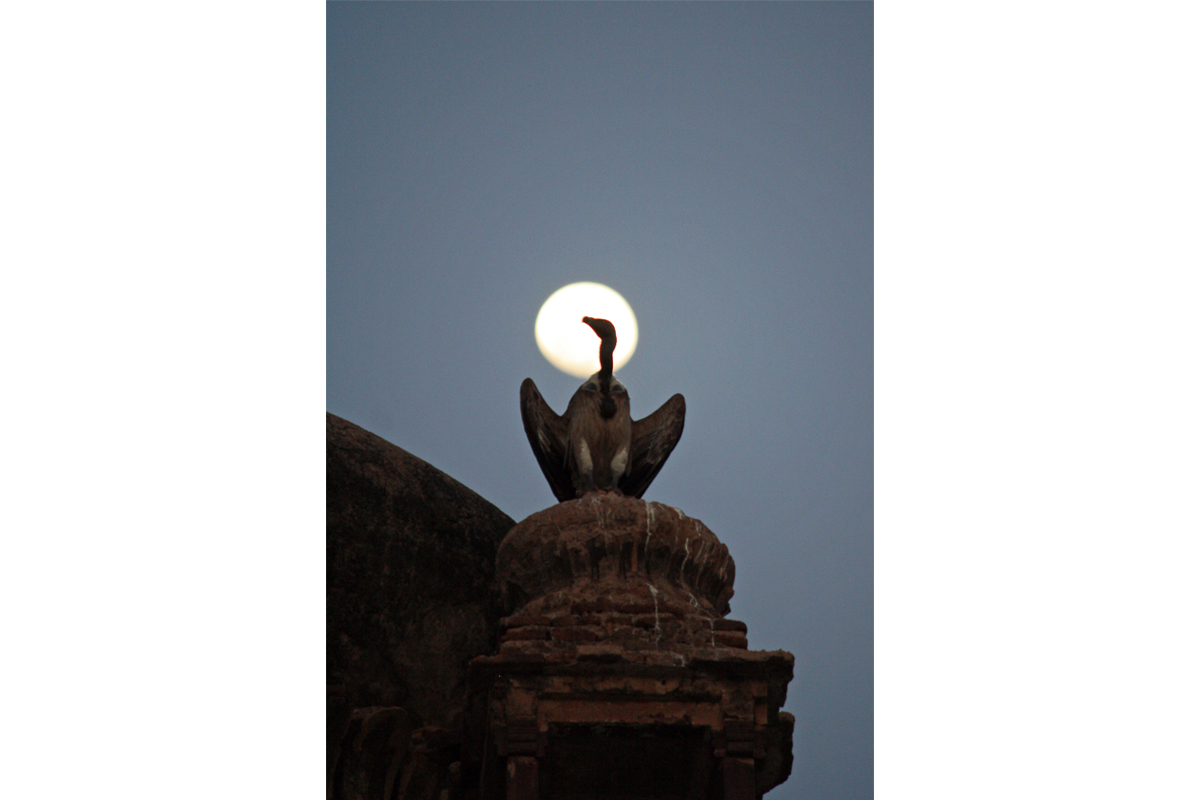 A vulture perched atop a monument in Orchha which lies in the Madhya Pradesh part of Bundelkhand. Vulture population in Bundelkhand has seen a 103% rise in the past decade. Photo by Akhilesh Kumar, Indian Biodiversity Conservation Society.