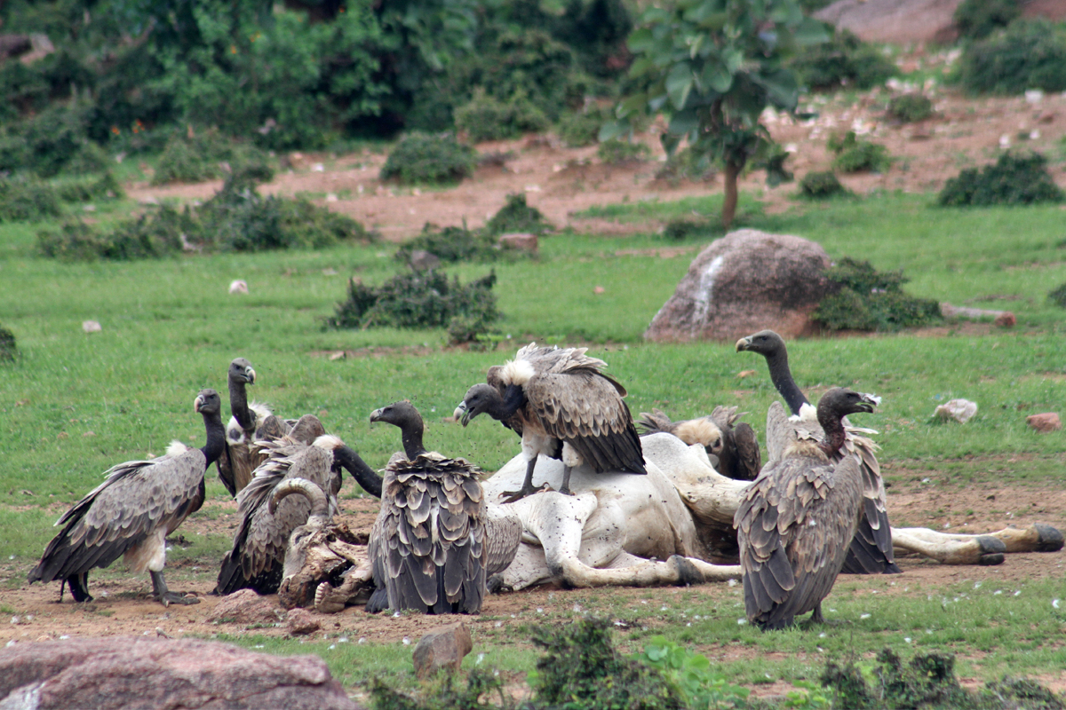 Vultures scavenge on dead livestock but most of the vulture species find it difficult to penetrate a large animal's hide. Photo by Akhilesh Kumar, Indian Biodiversity Conservation Society.