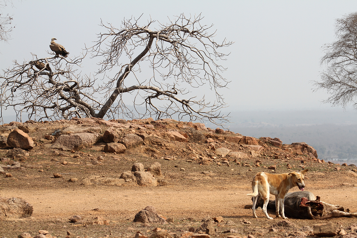 Competition with feral dogs feeding on livestock carcass reduces the food available for vultures in Bundelkhand. Photo by Akhilesh Kumar, Indian Biodiversity Conservation Society.