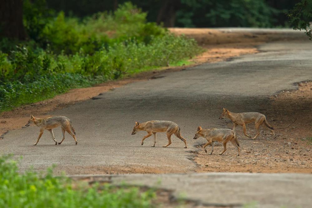 A pack of golden jackals. Photo by Ramki Sreenivasan.