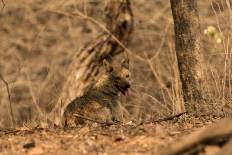 India's golden jackals are poached predominantly for their meat while 'jackal horns' are used in astrology and black magic practices. Photo by Uday Kiran.
