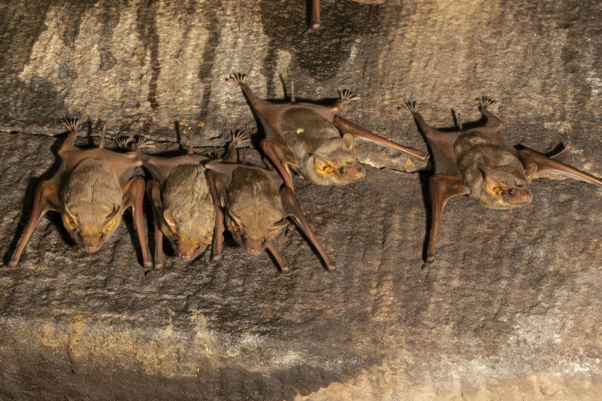 The exact origin of SARS-CoV-2 (the virus causing the COVID-19 outbreak) in bats is not yet proven. But the oversimplification of scientific facts and misinterpretations have triggered a backlash against bats. Photo by Yashpal Rathore.