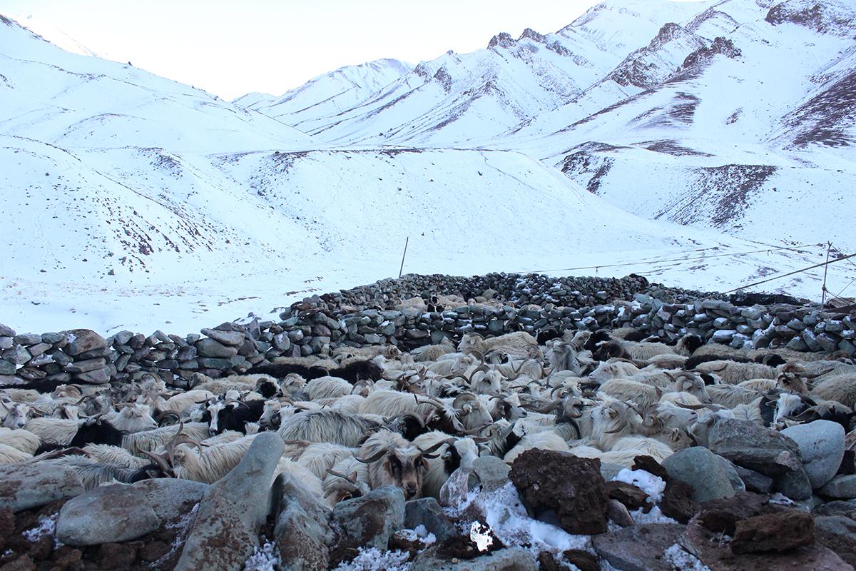 Livestock in their corrals. Photo by Munib Khanyari.