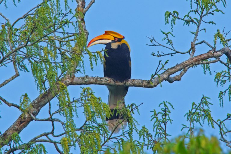 A great hornbill in Dibang valley. Over 50 percent of birds found in India are found in the proposed hydroelectric project region. Photo by Dhritiman Mukherjee.