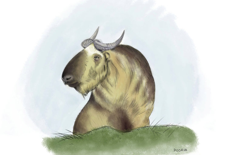 Mishmi takin, a vulnerable species found in Dibang valley, has the highest protection under India's wildlife laws. Illustration by Poorva Goel.