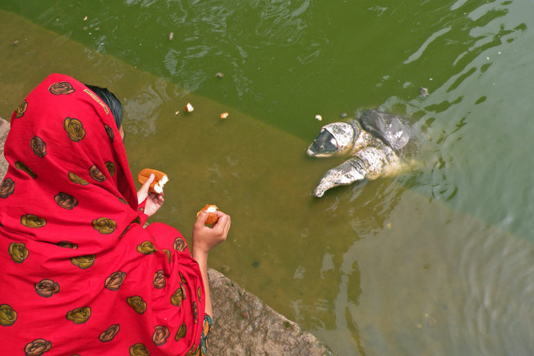 Turtles are considered auspicious in temple ponds but offerings of bread, biscuits and puffed rice by devotees impact their health as well as ecology. Photo from Turtle Survival Alliance.