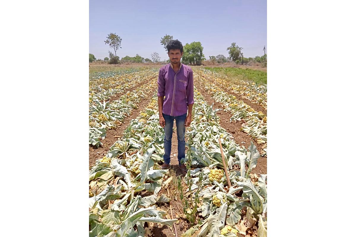 Sandip Shivaji Bankar (Satefal village, Jafrabad) in his 0.4 ha cauliflower field. Photo from KVK, Jalna.