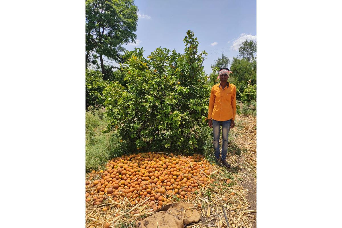 Dnyaneshwar Shrirang Lakde (Hadap village, Jalna) in his 0.8 ha sweet orange field. Photo from KVK, Jalna.
