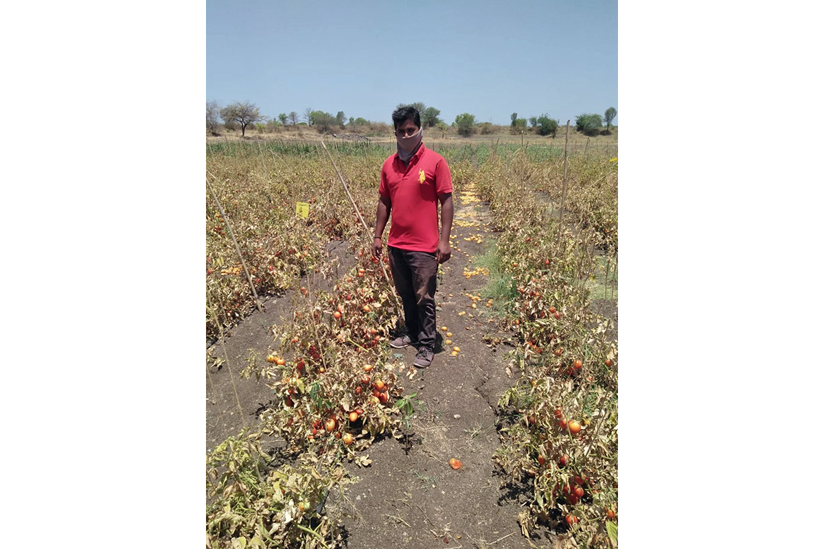 Sandesh Rathod from Dambri village in Jalna taluka stands in his two-hectare tomato field. Photo from KVK, Jalna.