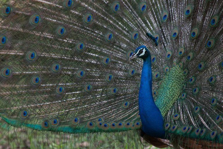 peacock, indian national bird