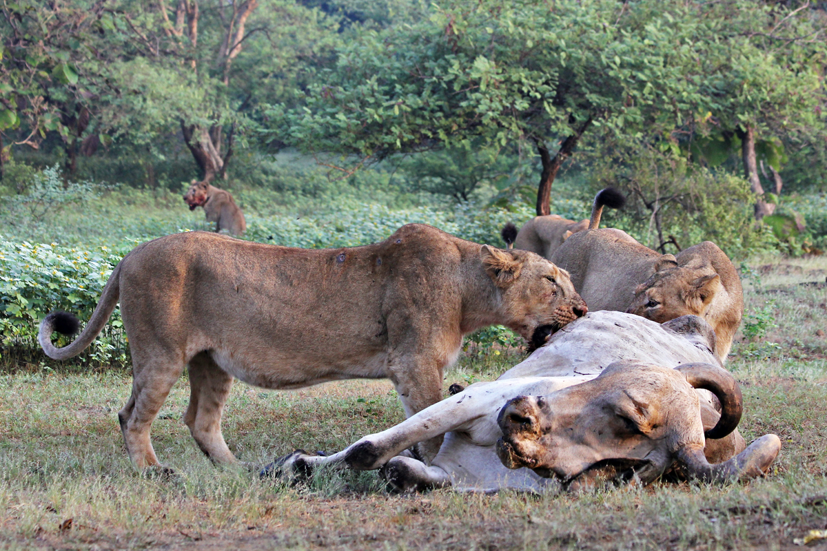 Lionesses with a cattle kill. Photo by Stotra Chakrabarti.