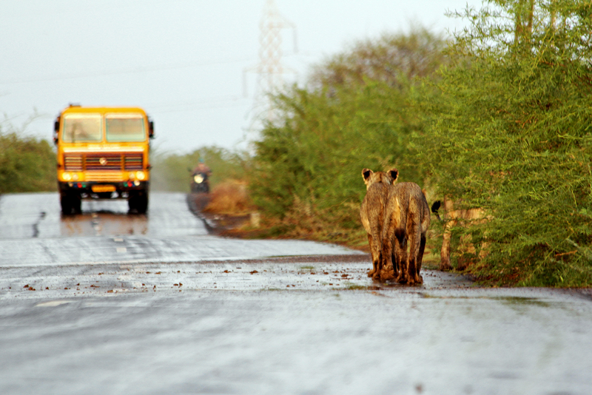 Lions on the road in Amreli, Gujarat. Over 50 percent of the country's lion population currently lives outside a protected area. Photo by Stotra Chakrabarti.