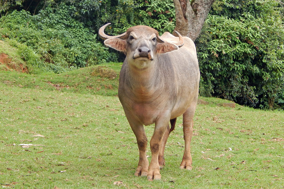 A Toda buffalo with its characteristic short legs and curved horns. Photo by Northay Kuttan.