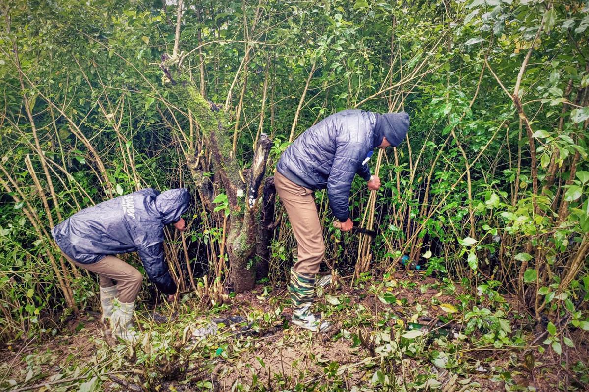 Ecotourism staff removing invasive species Cestrum aurantiacum in Nilgiris. Photo by Northay Kuttan.