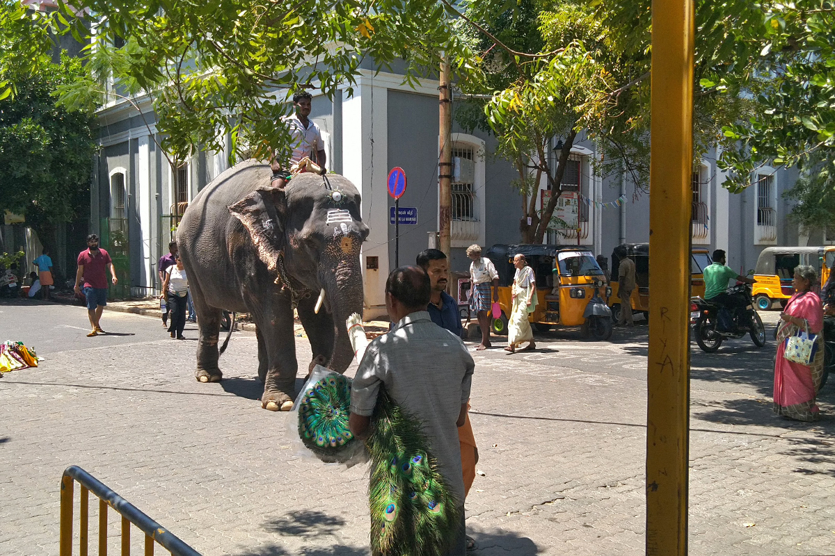 A privately-owned elephant walks the street in Puducherry. Experts suggest a long-term policy change in the management of captive elephants. Photo by Ramesh.