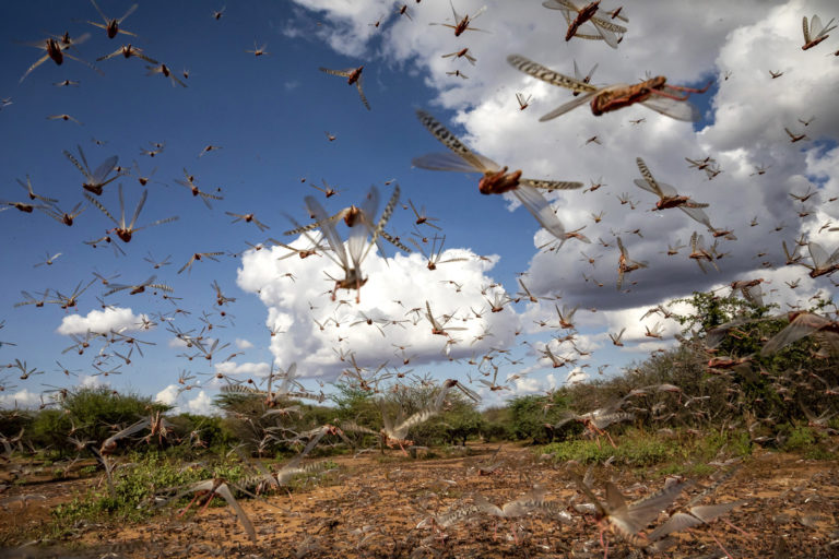 Climate change favours locust swarms, India increasingly at risk - Mongabay-India