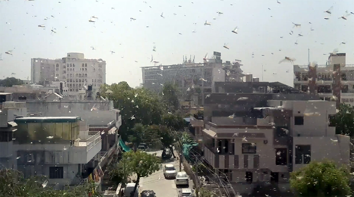 A swarm of locusts in Jaipur, Rajasthan. Photo by Nilanjana Lahiri.